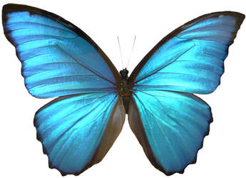 Blue Morpho Butterfly Wings by Enchantedgal-Stock