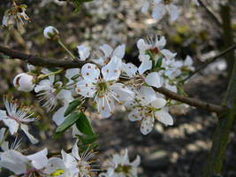 Spring Tree Blossom Flower by Enchantedgal-Stock