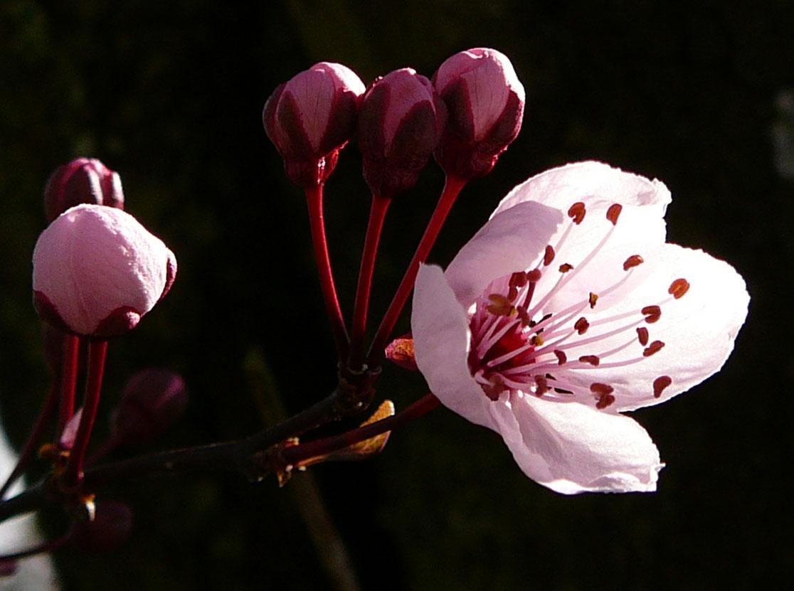 Cherry Tree Flower Blossom By