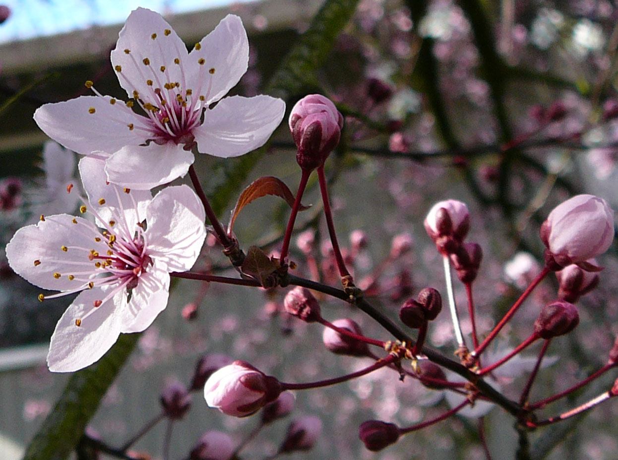 Cherry Tree Flower Blossom 2 By Enchantedgal Stock On