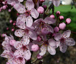 Cherry Tree Pink Flower Bunch