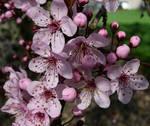Cherry Tree Pink Flower Bunch
