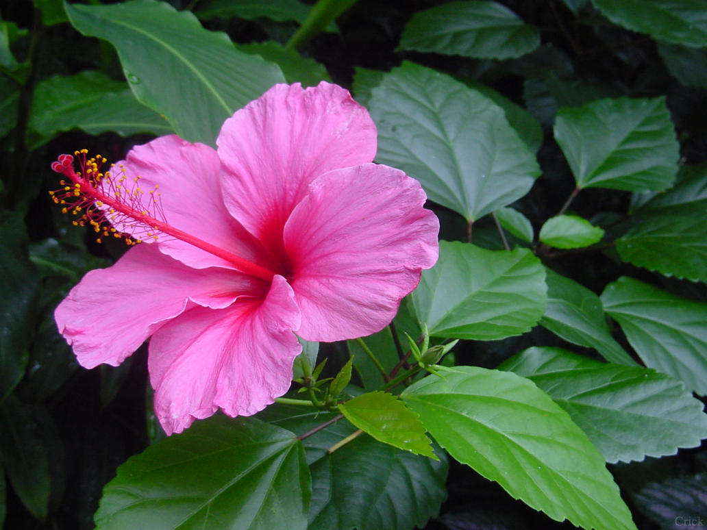 Hibiscus pink flower by enchantedgal stock on deviantart hibiscus pink flower by enchantedgal stock izmirmasajfo Gallery