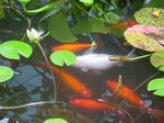 Koi Fish Lily Pad Pond Stock