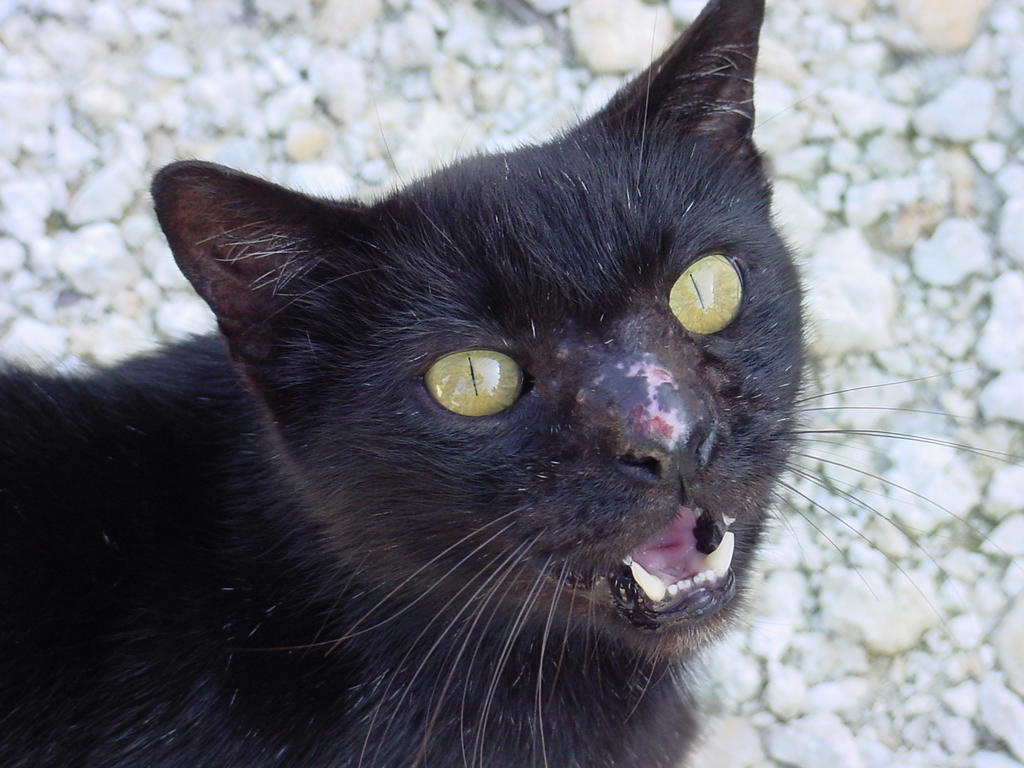 Scary Feral Black Bombay Cat