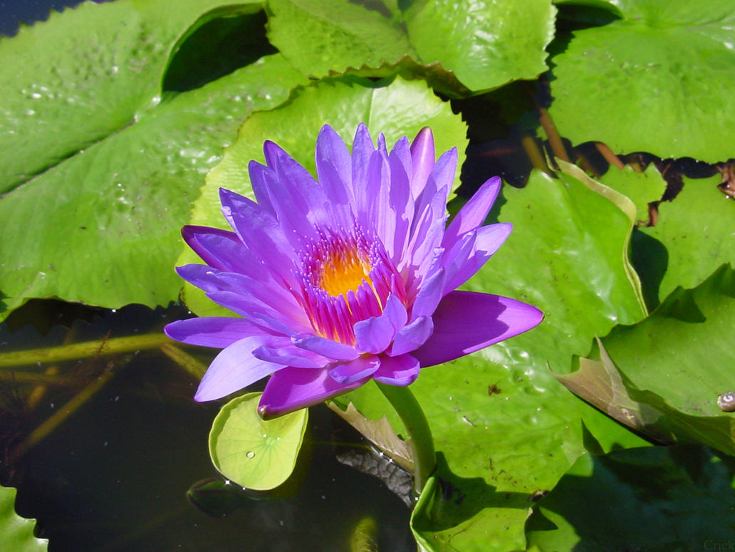Water Lily Pad Pond Flower By Enchantedgal Stock On Deviantart