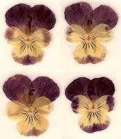 Dried Pressed Pansy Flower by Enchantedgal-Stock