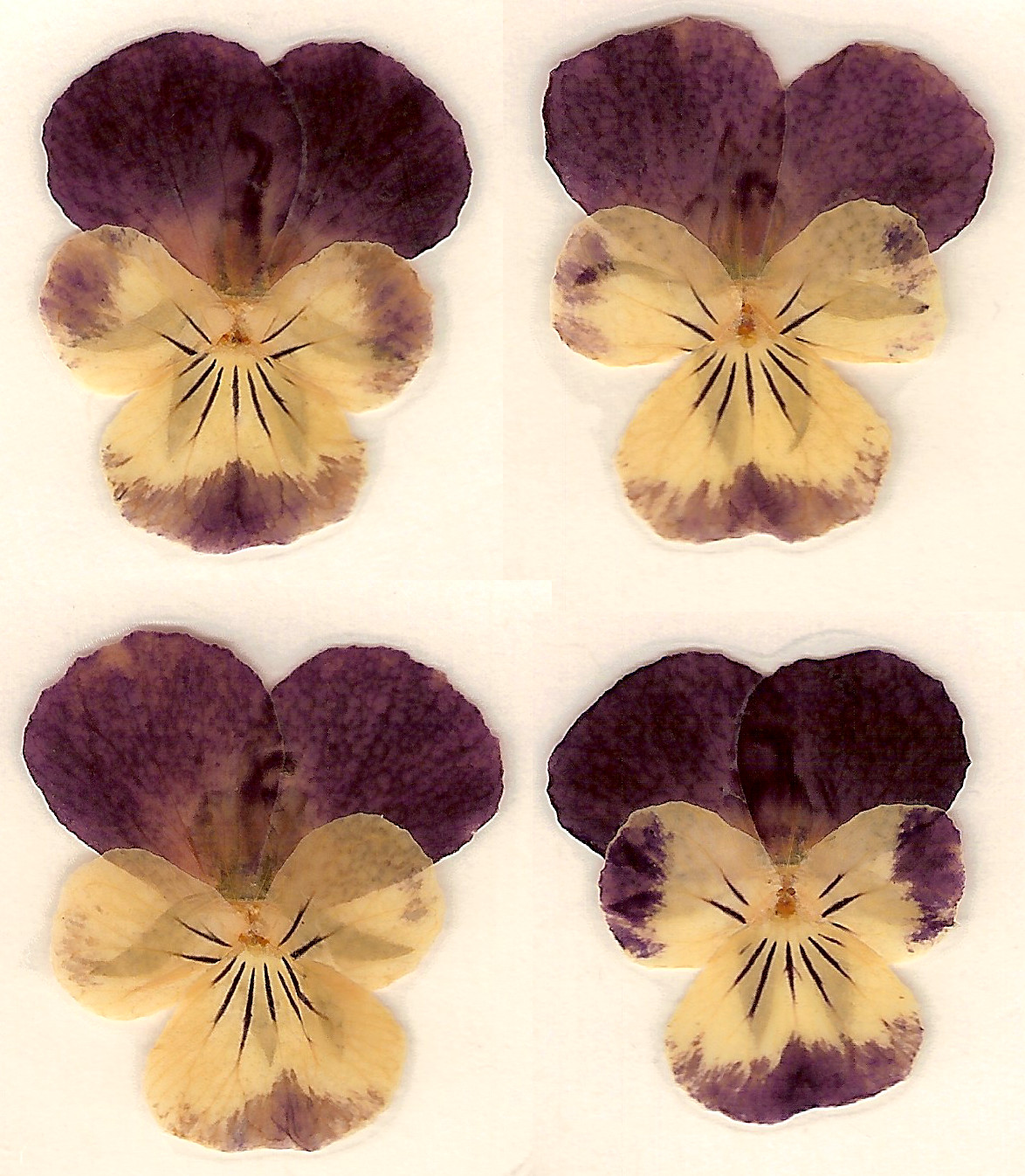Dried Pressed Pansy Flower by Enchantedgal Stock on DeviantArt