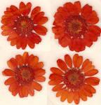 Orange Daisy Flower Blossoms