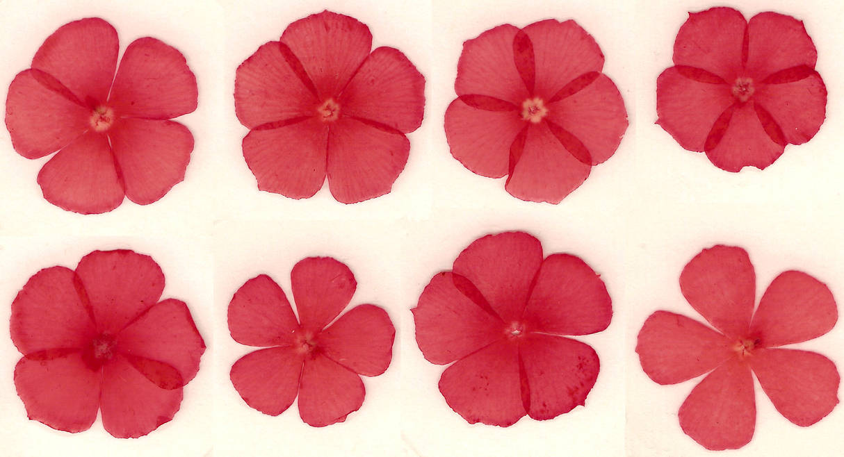Pressed red flower blossoms by Enchantedgal-Stock
