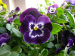 Pansy Flowers Stock