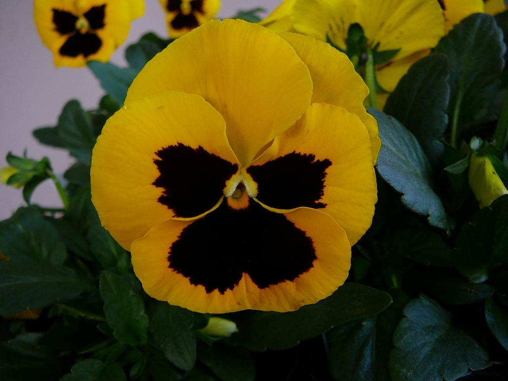 Yellow pansy flower stock by enchantedgal stock on deviantart yellow pansy flower stock by enchantedgal stock mightylinksfo