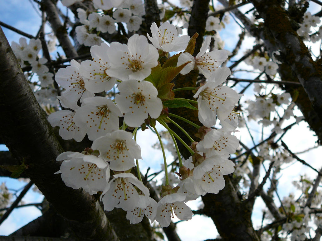 White Tree Flower Blossoms By Enchantedgal Stock On Deviantart