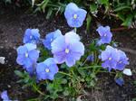 Blue Pansy Flower Garden