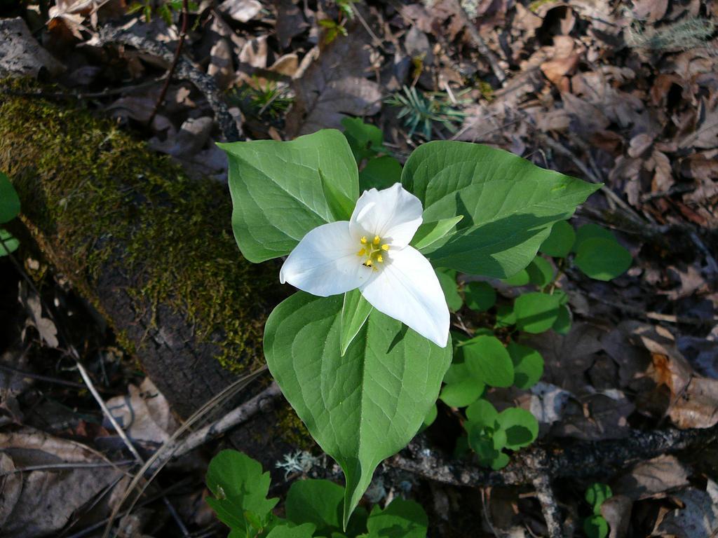 White Trillium Flower Stock by Enchantedgal Stock on DeviantArt