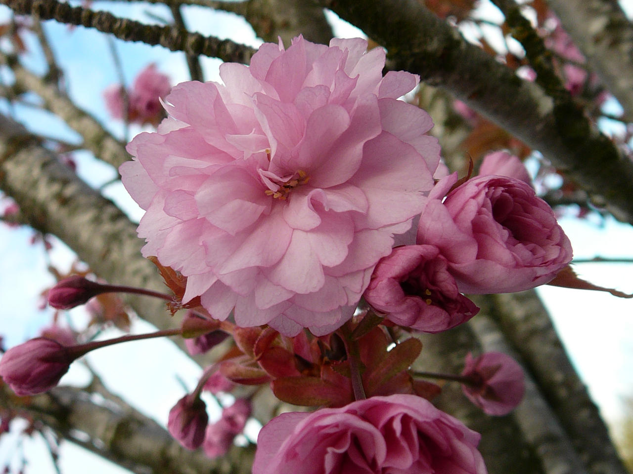 Pink Tree Flower Blossom Poof By Enchantedgal Stock On Deviantart