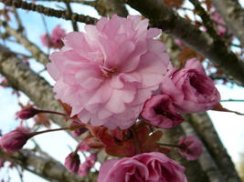 Pink Tree Flower Blossom Poof by Enchantedgal-Stock