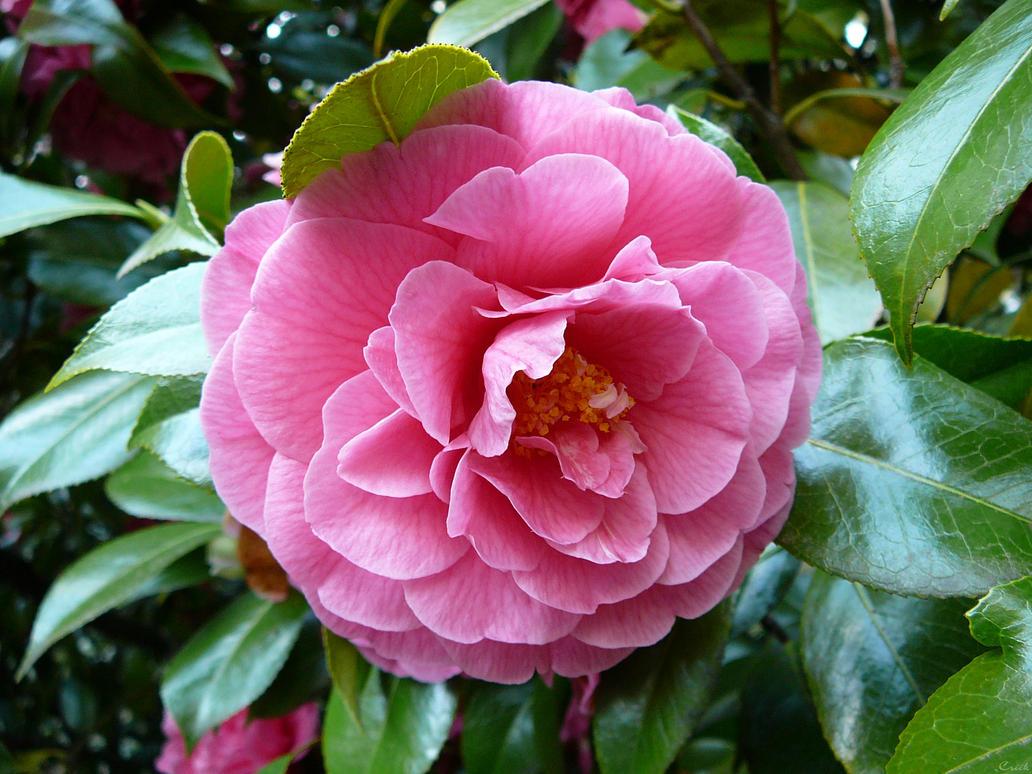 Pink tree bush flower blossom by enchantedgal stock on deviantart pink tree bush flower blossom by enchantedgal stock mightylinksfo