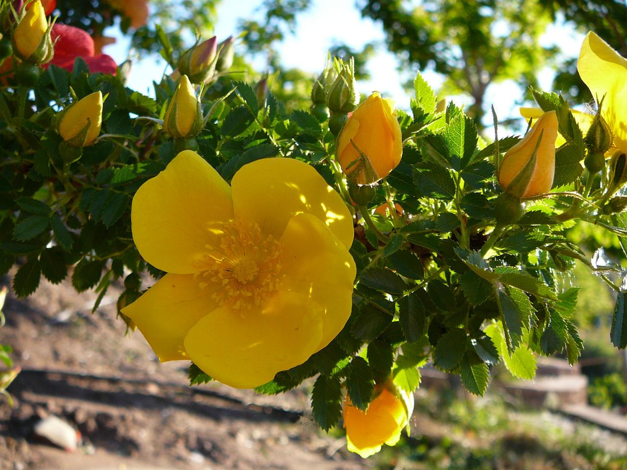 Yellow Desert Flower Stock By Enchantedgal Stock On Deviantart