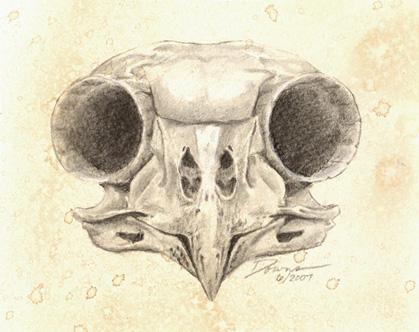 Barred Owl Skull By Achamplin On Deviantart