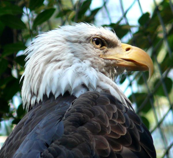 Eagle by melissa jayne