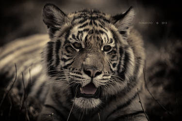 TIGERS III by fionafoto