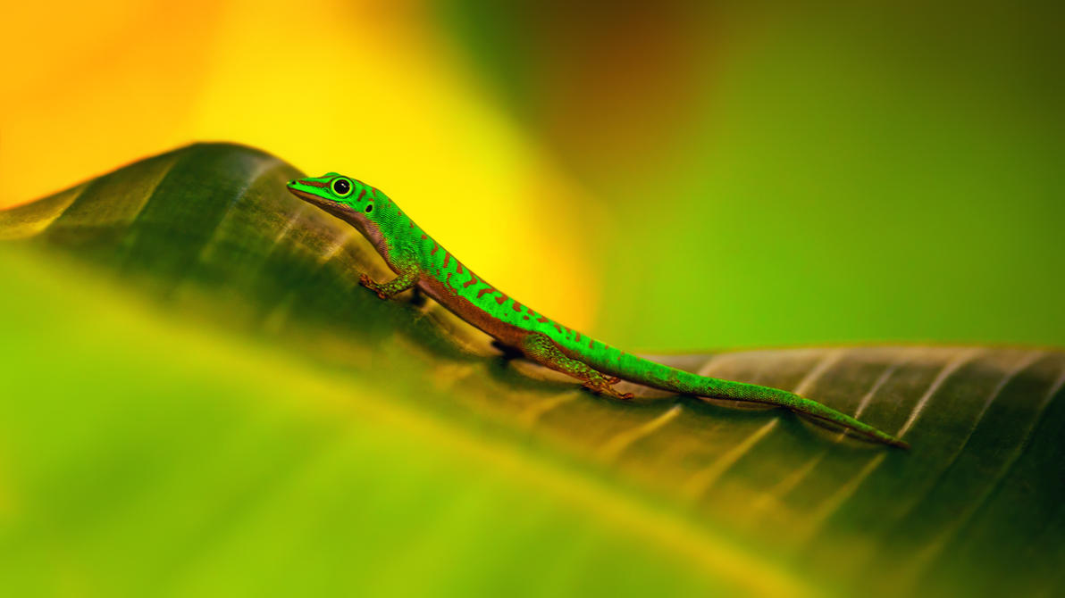 gecko by fly10
