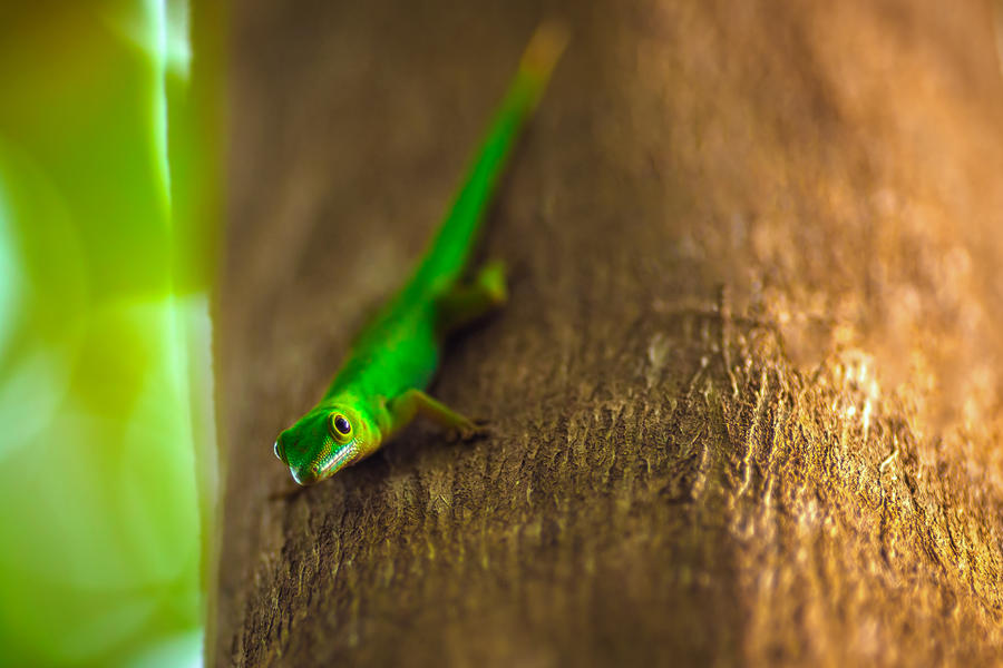 curious Gecko by ~fly10