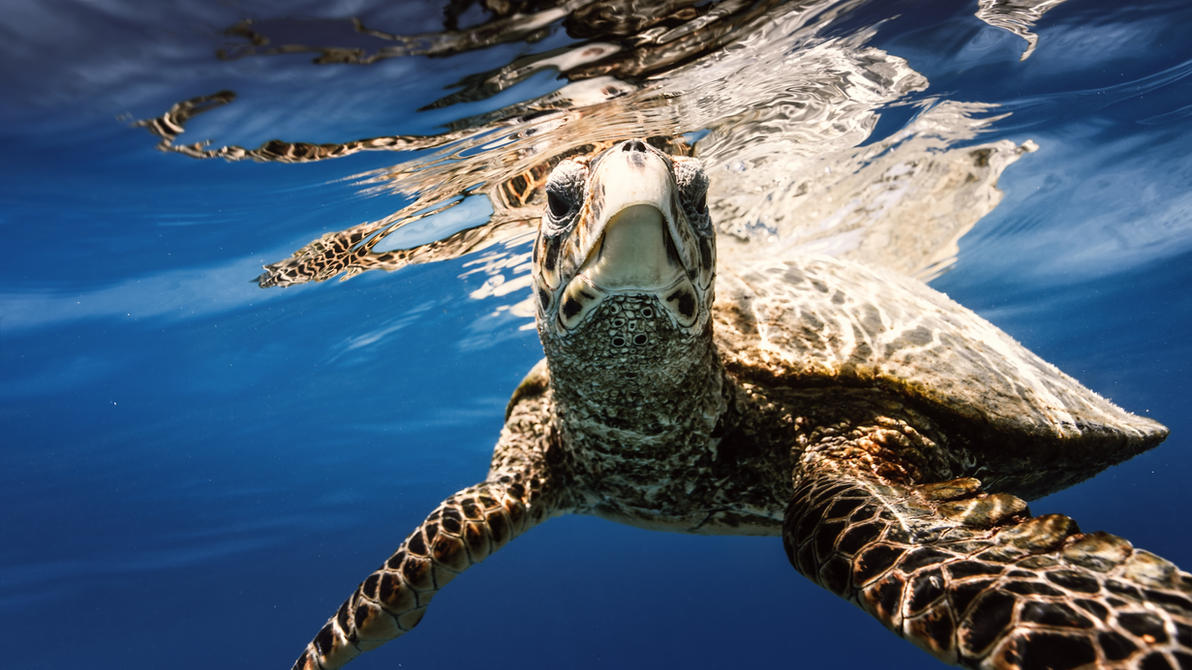 Sea turtle underwater by fly10