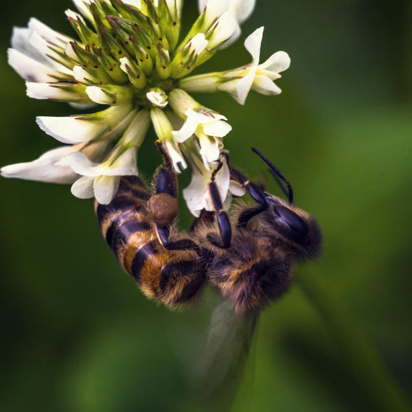 A bee on a clover flower by fly10