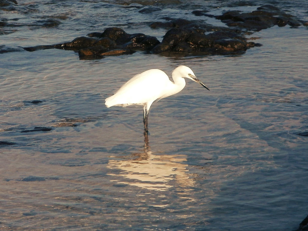 White egret by RevelloDrive1630
