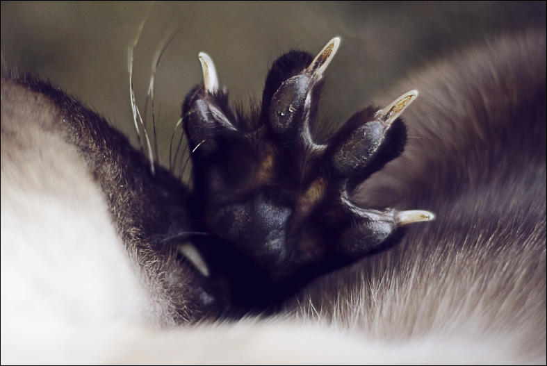 Siamese cat paw by chipset ...