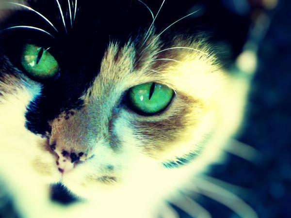 Calico Cat With Yellow Eyes | www.imgkid.com - The Image ...