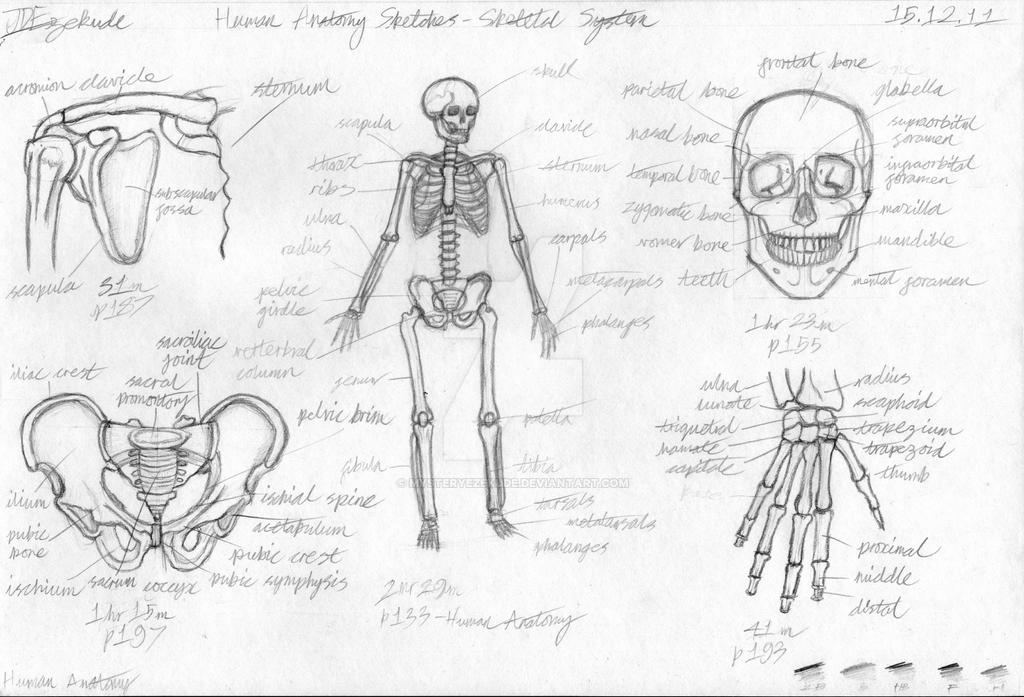 Human Skeletal System Sketches By Mysteryezekude On Deviantart