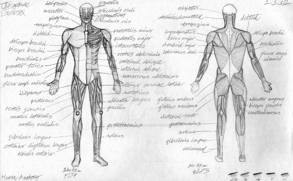 Human Muscular System Sketches by MysteryEzekude on DeviantArt