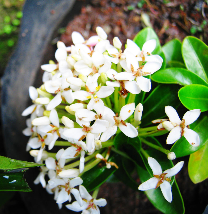 soka jambon bunga putih