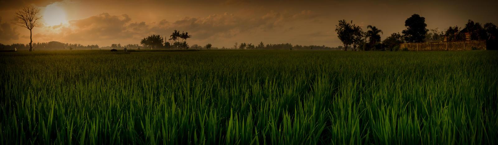 Rice Paddy by AbbottPhotoArt