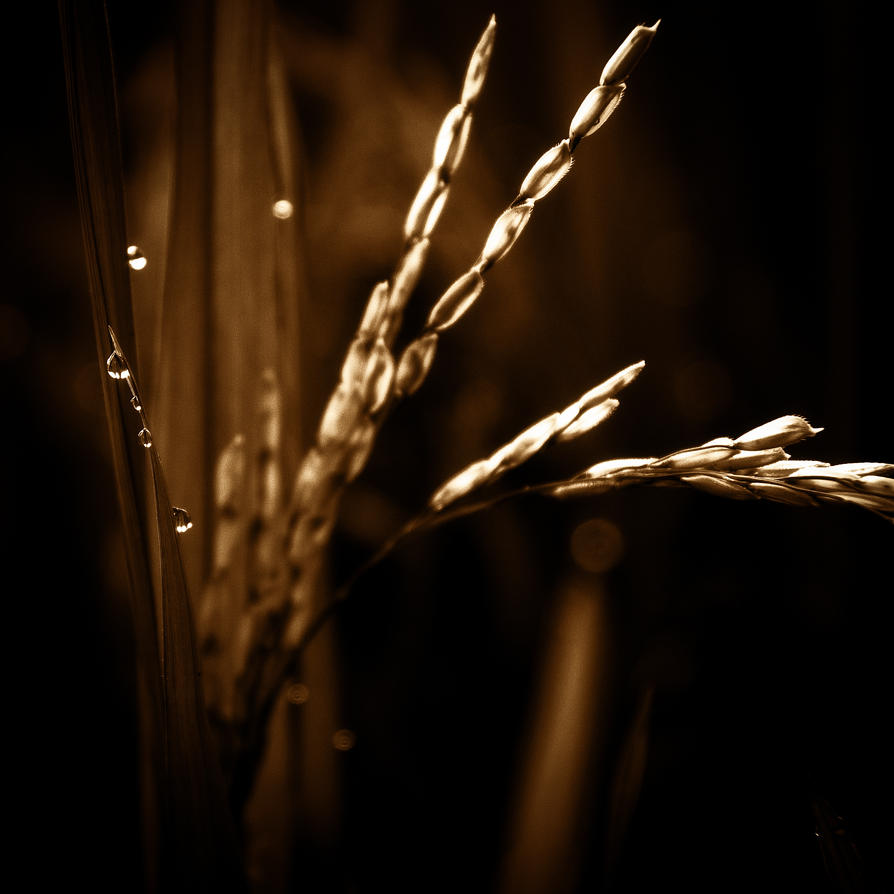 Rice.jpg by AbbottPhotoArt