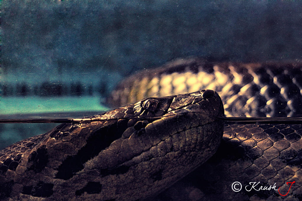 Anaconda by kaush