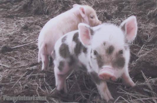 Lil' Pigs!