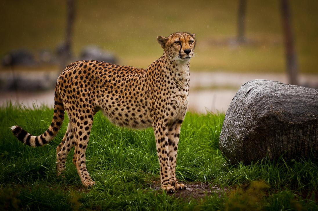 Cheetah in the rain by CarpathianWolf