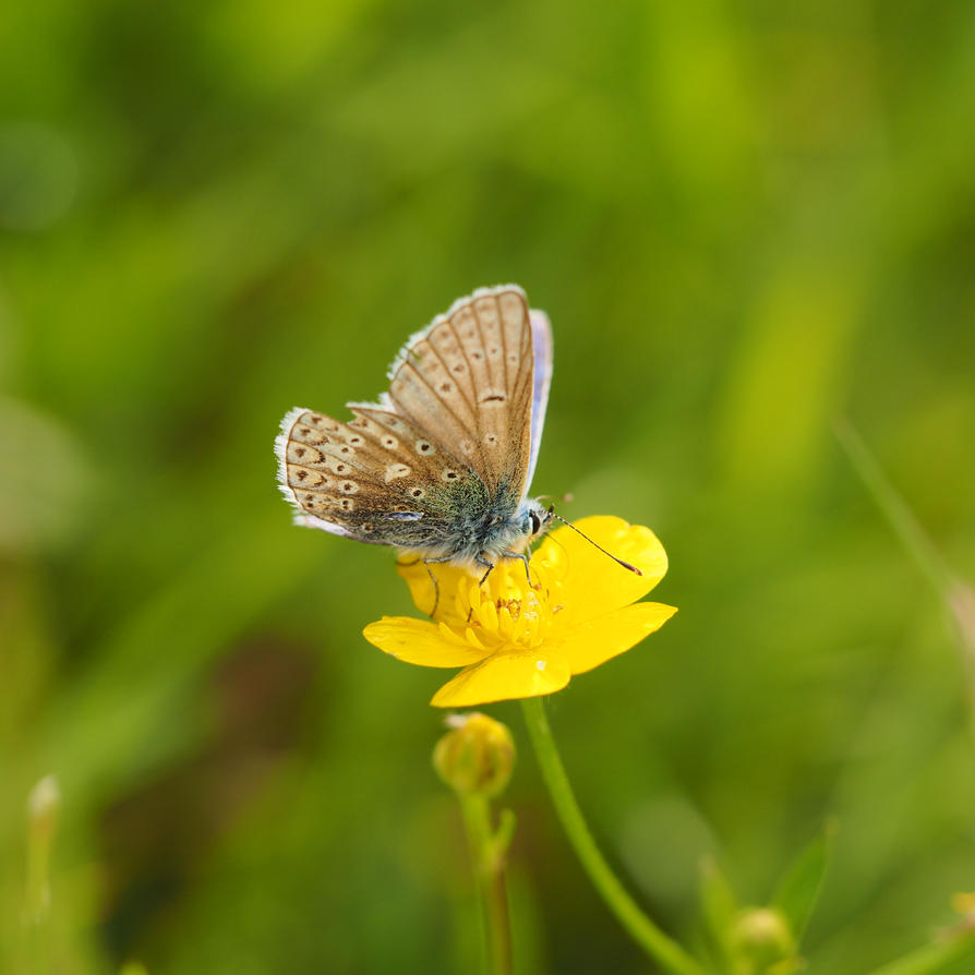 Blue Butterfly on a Buttercup I by WillowsAtSunset