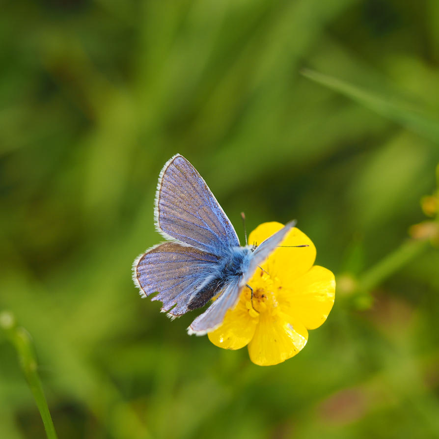 Blue Butterfly on a Buttercup II by WillowsAtSunset
