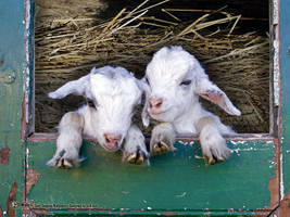 Two young goats on the barn by montezumas