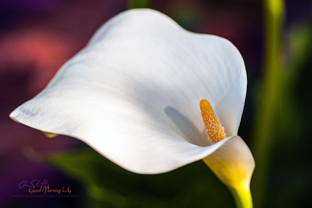 Good-Morning-Lily by Annetteks