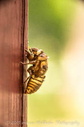 Cicada Skin Macro -178