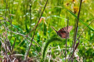 Lone Butterfly 9-13 crop-359