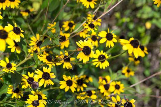 Sunflowers 9-13-328