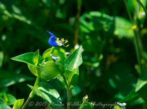 Blue fluer 9-13 crop-363