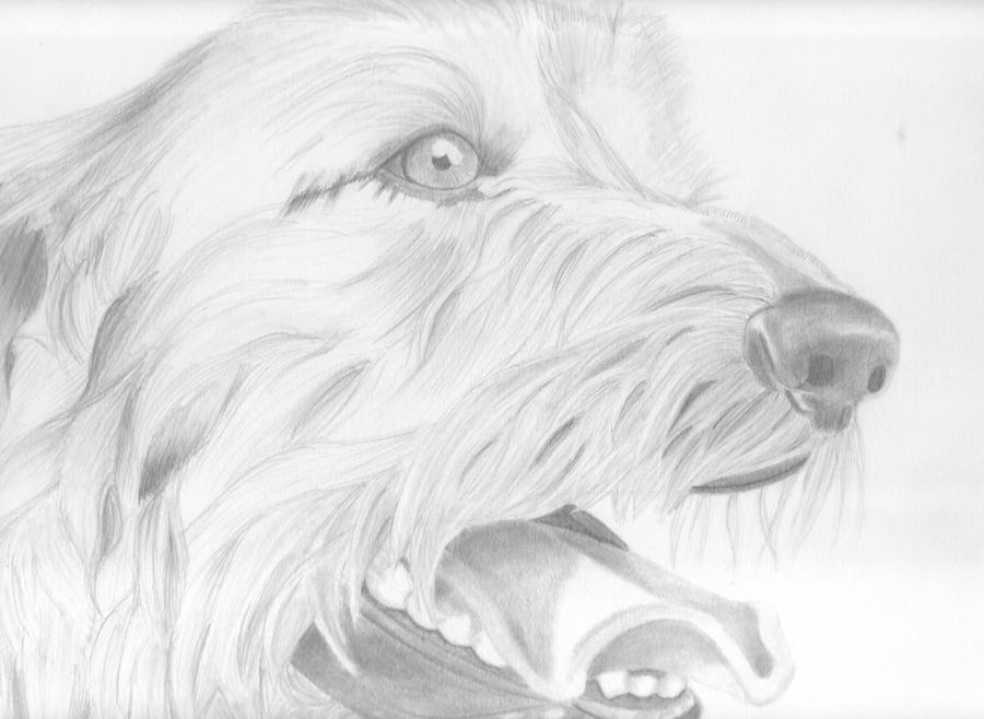Irish wolfhound drawin